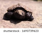 A Winking Baby Snapping Turtle...