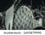 Opuntia Ficus Indica  Prickly...