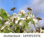 Honey Bees Pollinating White...