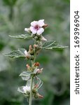 Small photo of Althaea officinalis marshmallow