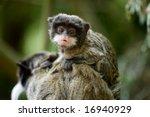 Stock photo cute baby emperor tamarin saguinus imperator 16940929