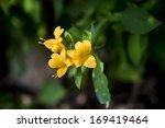 Yellow Allamanda Cathartica...