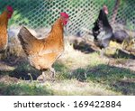 Free range chickens roam the yard on a small farm - stock photo