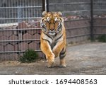 Siberian Tiger Is Jumping And...