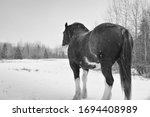 Clydesdale Horse In Black And...