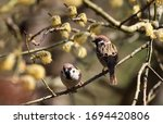 Two Sparrows On One Branch Of A ...