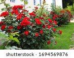 Red Garden Roses Bush Grow At...