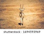 Beautiful Thomson's Gazelle ...