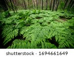 Small photo of Dense fern thickets close-up. Beautiful nature background with many ferns in scenic forest. Rich greenery among trees. Chaotic wild ferns in forest thicket. Vivid green texture of lush fern leaves.