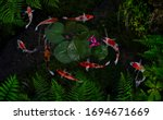 Koi Fish In A Pond With Green...