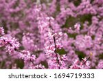 Vibrant Pinks From A Redbud...