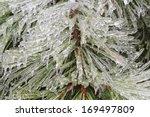 Pine Trees Under Heavy Ice