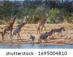 Giraffe And Plains Zebras In...