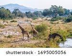 Group Of Three Giraffes In...