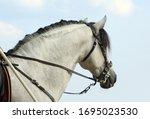 White Andalusian Horse Stallio...