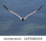 A Flying Laughing Gull Headed...