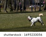 Bulldog runs and play towards...