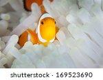 A False Clownfish  Amphiprion...