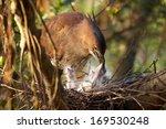 Mother Malaysian Night Heron ...