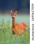 Adorable Roe Deer  Capreolus...