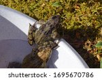 Two common frogs (Rana temporaria) crawl out of the bucket with water to go to the pond. Family true frogs (Ranidae). Spring. Bergen, Netherlands, April 5, 2020.