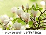 Beautiful Magnolia Tree...