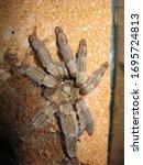 Close Up Tarantula Spider...