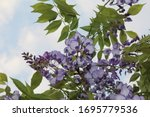 Violet Subtropical Flowering...