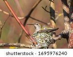 Anna\'s Hummingbird Mother  In...