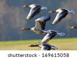 Greylag Goose On A Lake.