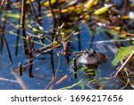 A Common Frog Lies In The Wate...