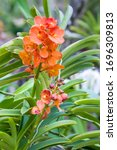 Small photo of Vanda Suksamran Sunlight is an orchid hybrid originated by Suksamran in 1993. It is a cross of Vanda Jiraprapa x Vanda Pralor.