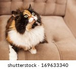 Beautiful Fluffy Tri Color Cat...