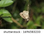 Butterfly Caught On A Spider Web