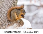A Fox Squirrel Works At Openin...