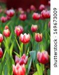 colorful tulip on nature... | Shutterstock . vector #169673009