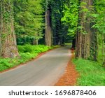 A narrow paved road lined with ferns and redwoods winds through the Giant Redwoods in Humboldt Redwoods State Park, in California. This is part of the Redwoods National Park also. - stock photo