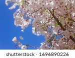 Pink Cherry Blossoms Blooming on a Tree with Blue Sky Background in San Francisco