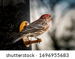 Male House Finch Siting On...