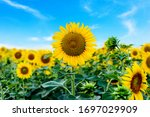 Sunflower field with blue sky background