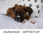 Boxer Puppy Laying On Bed With...