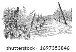 Landscape With Of Vineyard....