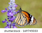 butterfly on purple flowers of... | Shutterstock . vector #169745033