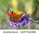 European Peacock Butterfly ...