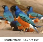 superb starling bird in... | Shutterstock . vector #169775159