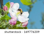 Bee Working On Apple Blossoms...