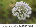 Allium Polyanthum Onions...