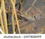 Large Brown Frog In The Water...