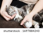 Gray Cat Lies In The Hands Of A ...