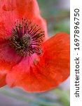 Closeup Of Bright Red Poppy...